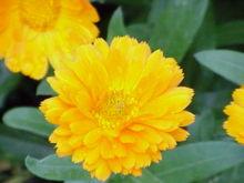 220px-Calendula_officinalis1