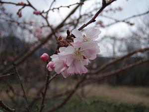 300px-Jugatsu-sakura